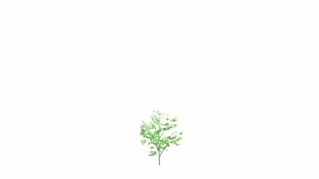 The growth of a large tree. Isolated on white background In Ultra HD 4k.