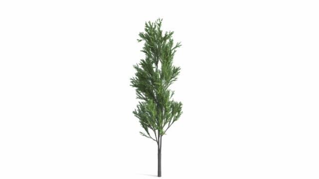 一棵大樹的生長。隔離在白色背景中的超高清4k。優秀的隔離在黑色和白色的背景和麵具 - four seasons 個影片檔及 b 捲影像