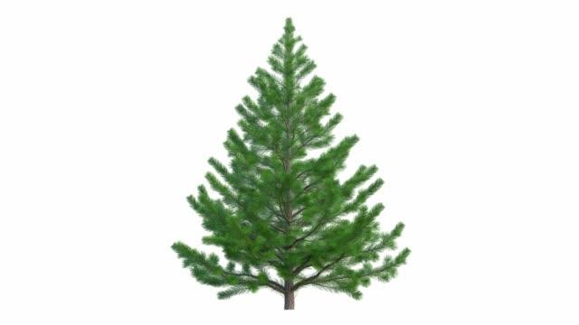 the growth of the christmas tree. new year fir-tree. in ultra hd 4k. - jodła filmów i materiałów b-roll