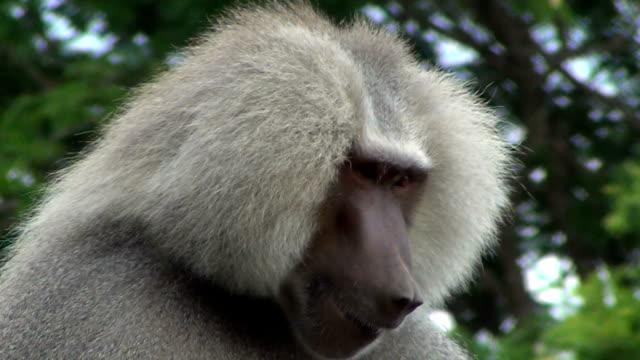 The hamadryas baboon (Papio hamadryas) cleaning the teeth.