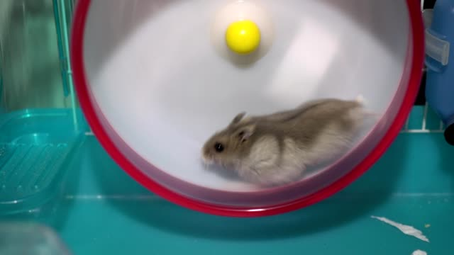 The hamster and exercise wheel.