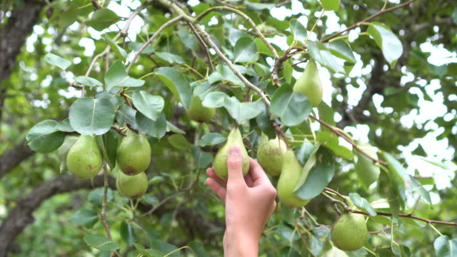 The hand of a man tears the fruits of a pear conference The hand of a man tears the fruits of a pear conference from a tree in a park or garden. The branches sway. Harvesting in the countryside pear stock videos & royalty-free footage