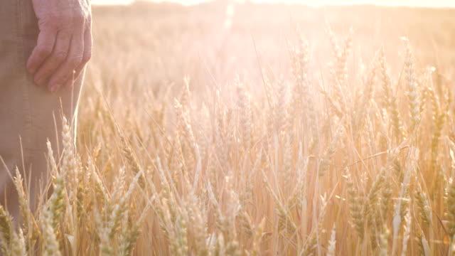 vídeos de stock e filmes b-roll de the hand of an elderly woman touches wheat spikes at sunset - vídeos de milho