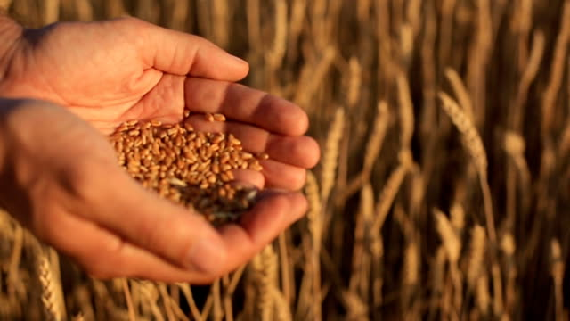 The hands of a farmer close-up holding a handful of wheat grains in a wheat field. The hands of a farmer close-up holding a handful of wheat grains in a wheat field. handful stock videos & royalty-free footage