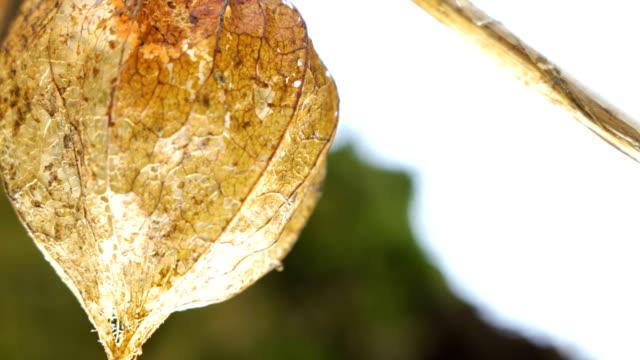 the hanging brown winter cherry plant on the stem - японский фонарь стоковые видео и кадры b-roll