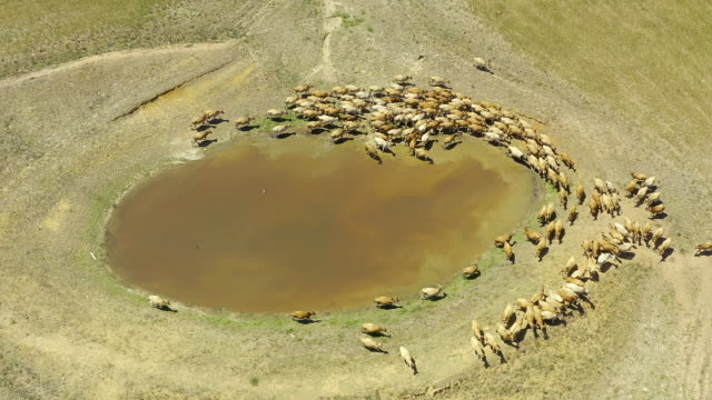 The hangout spot for most farm animals 4k drone footage of a herd of cows surrounding a watering hole on a farm paddock stock videos & royalty-free footage