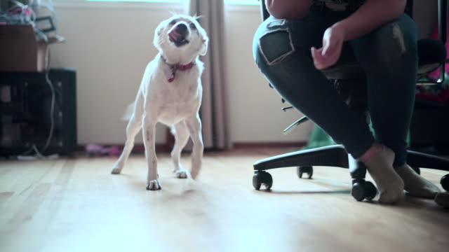 The happy mixed-breed dog playing in the room video