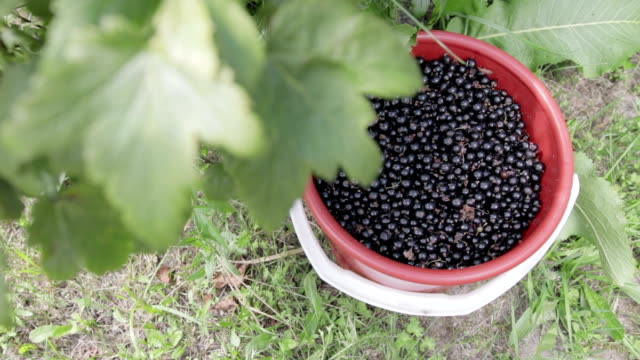 The harvest of black currant A red bucket filled to the top with black currant stands on the grass, under a bush of black currant. Close up. Harvest 天の川 stock videos & royalty-free footage