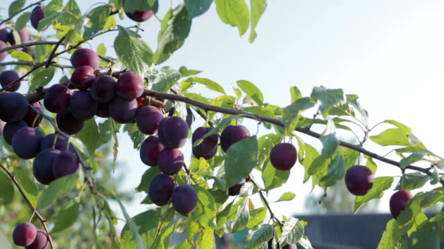 The harvest of plums The harvest of plums, branch with ripe, juicy plums hanging. Through the foliage plays with the sunlight.Close up plum stock videos & royalty-free footage