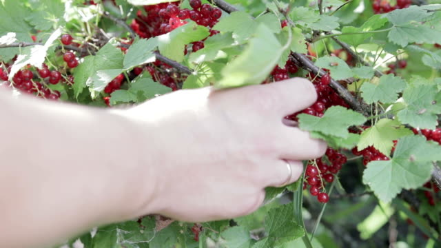 The harvest of red currant. Close up Hand collects red currant from the Bush. Harvesting berries plant part stock videos & royalty-free footage