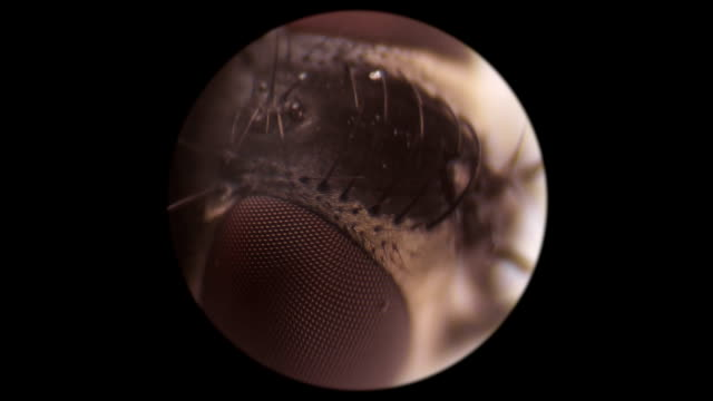 the head of a dead fly under a microscope - torace animale video stock e b–roll
