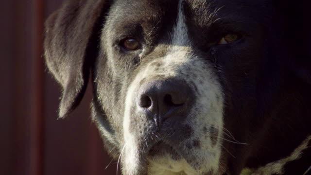 the head of a threatened dog - rabbia emozione negativa video stock e b–roll
