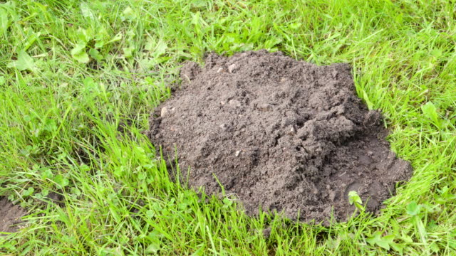 The heap of soil on the green grassy lawn video