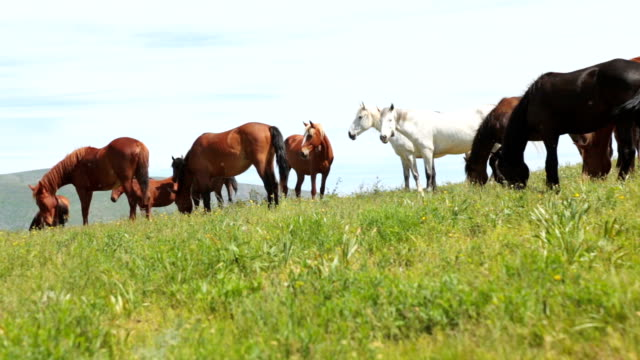 The herd of horses is grazed on a meadow in mountains video