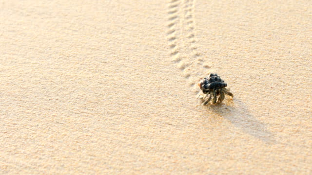 the hermit crab walking on the beach in phuket thailand, 4k. - granchio video stock e b–roll