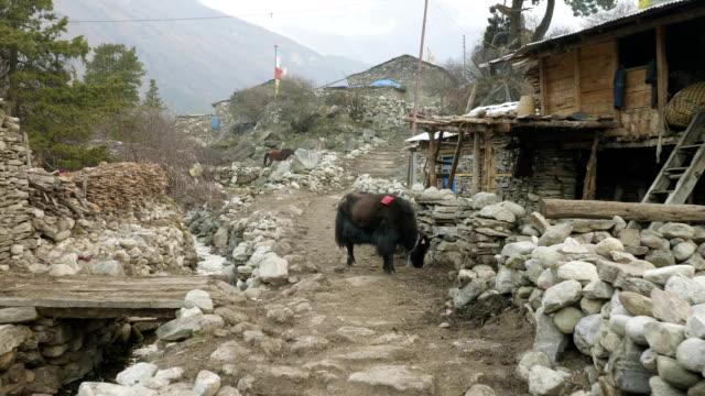 The Himalayan yak in the village Sama, Nepal. Manaslu circuit trek.