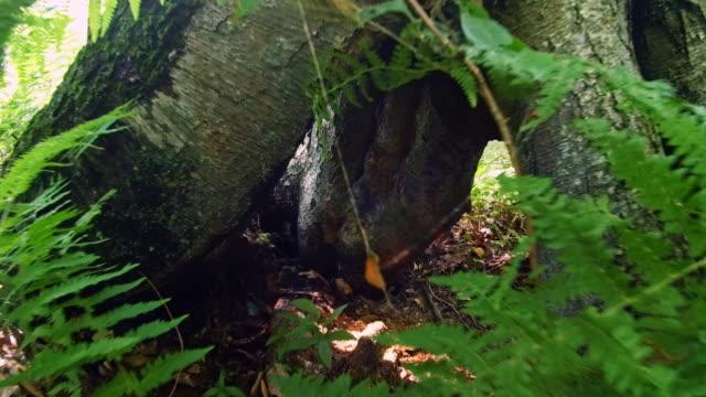 la cavità nell'albero, nella foresta di poconos, pennsylvania - hickory run video stock e b–roll
