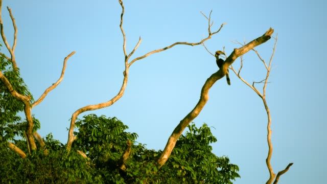 The hornbill in nature.