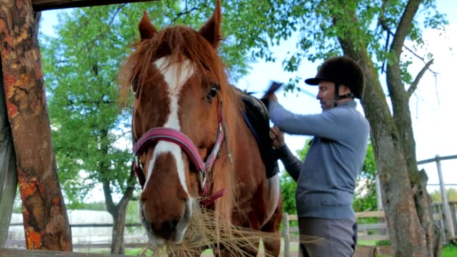 The horse chewing the hay and rider fix the saddle on animal video