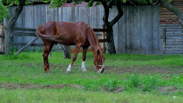 The horse eating a green grass in front of the wooden fence video