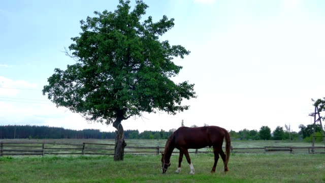 The horse grazing on the meadow in front of the tree video