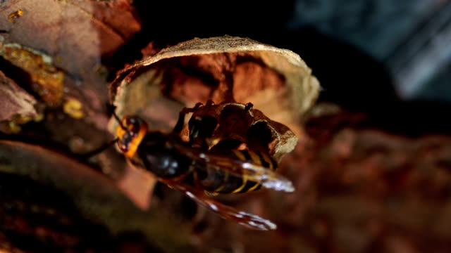 die riesige hornisse macht ein nest. seltene aufnahmen. - hornisse stock-videos und b-roll-filmmaterial
