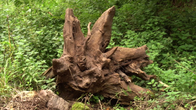 The huge roots of an uprooted tree among grass and stones in the forest. The problem of illegal logging and environmental protection