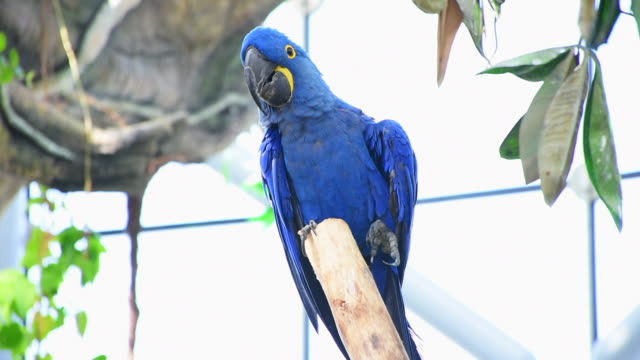 the hyacinth macaw (anodorhynchus hyacinthinus), or hyacinthine macaw or blue macaw perched on a branch in south america. - парагвай стоковые видео и кадры b-roll
