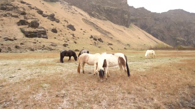 the icelandic horse is a breed of horse grown in iceland. two cream-colored horses graze in a field against a rocky mountain, eat yellow grass. - ssaki kopytne filmów i materiałów b-roll