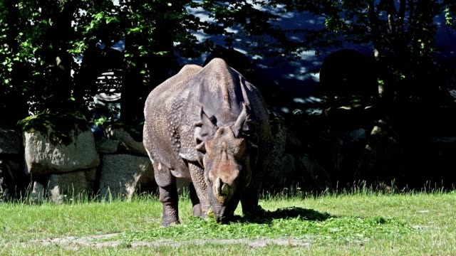 The Indian Rhinoceros, Rhinoceros unicornis is also called Greater One-horned Rhinoceros