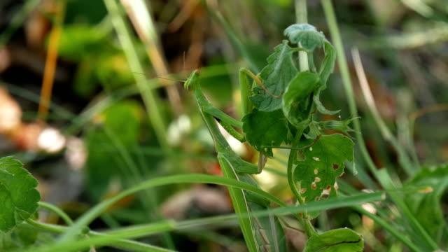the insect green mantis sits in the grass - kamuflaż filmów i materiałów b-roll