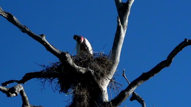 The jabiru (Jabiru mycteria) in the nest.