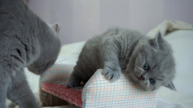 the kitten is played and mother licks him the kitten is played and mother disturbs and licks him, mother washes the child kitten stock videos & royalty-free footage