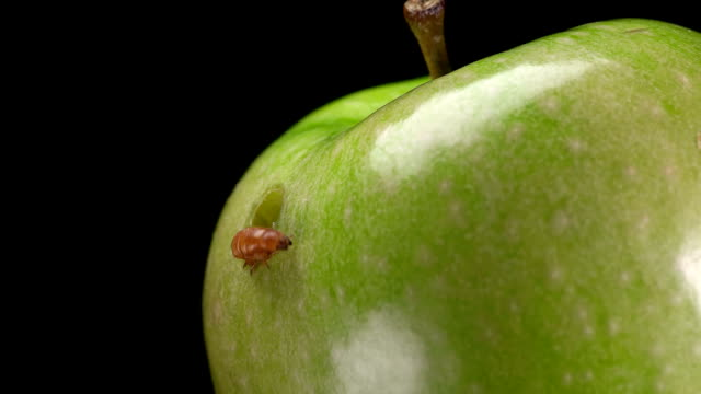 the larva feeds on a green Apple and chewed a hole in it,close-up