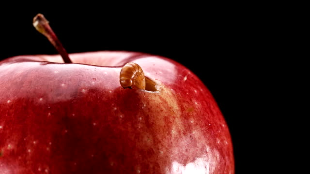 the larva feeds on a red Apple and chewed a hole in it,close-up
