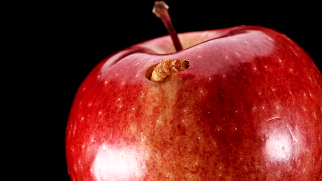 die larve ernährt sich von einen roten apfel und kaute ein loch drin, close-up - wurm stock-videos und b-roll-filmmaterial