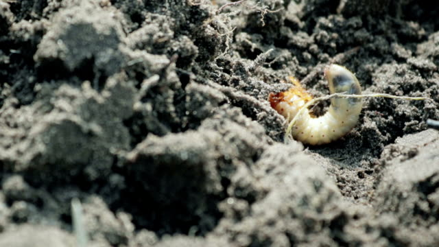 The larva of the may beetle lies on the ground, talking with his paws and can not turn over video