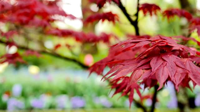 vidéos et rushes de les feuilles sont de couleur rouges dans l'arborescence sur un magnifique arrière-plan flou. - couleur saturée