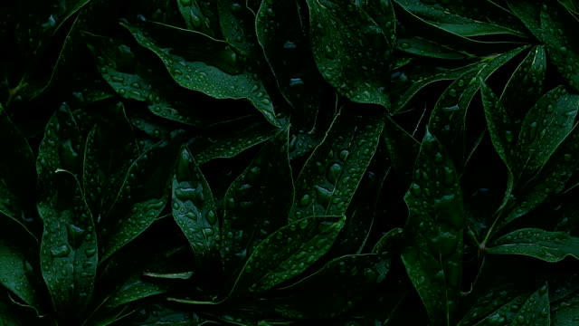 The leaves dark green color sprayed with water, full frame, used as background The leaves dark green color sprayed with water, full frame, used as background earth day stock videos & royalty-free footage