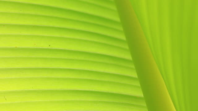 The leaves of the banana tree textured abstract background.