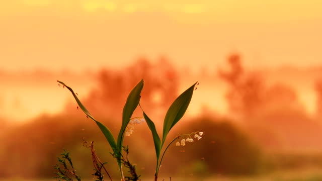 The lily of the valley on the sunrise background video