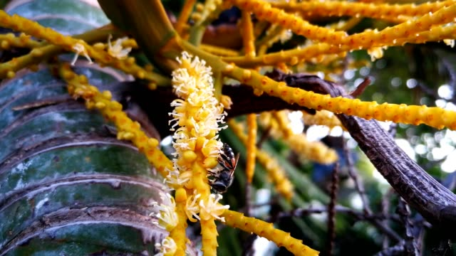 The little bee is pollinating the butterfly palm or golden cane palm.