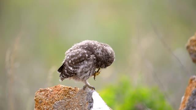 the little owl is sitting on a rock and preening its feathers and beak. - уход за поверхностью тела у животных стоковые видео и кадры b-roll