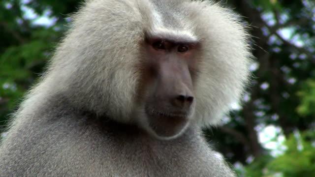 The long hair of an hamadryas baboon (Papio hamadryas) male.