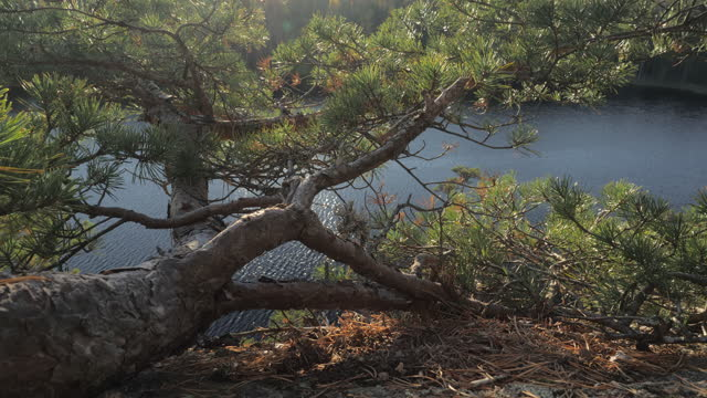 The look of the pine tree on the granite plateau .geology shot