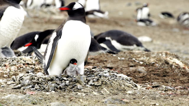 the love of a mother shown in this antarctic chinstrap penguin colony - młody ptak filmów i materiałów b-roll