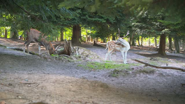 The majestic and beautiful brown deer with white spots and long antlers in the park in 4K