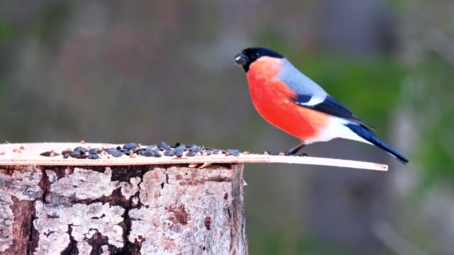 The male bullfinch sits on the feeder and eats sunflower seeds. A male bullfinch bird sits on the feeder in a natural park and feeds on sunflower seeds. feeding stock videos & royalty-free footage