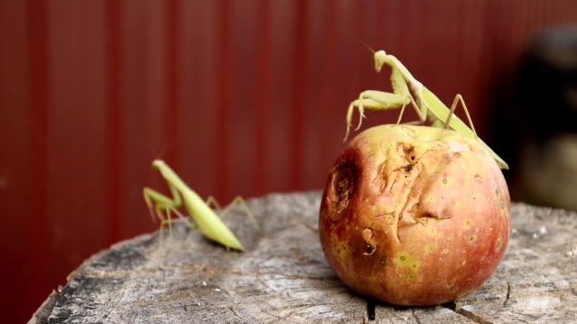 the male praying mantis on the apple. - sussex occidentale video stock e b–roll