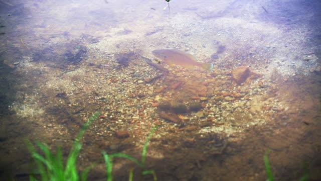 die männlichen pumpkinseed sunfish bewacht das nest in den teich in poconos, pennsylvania, usa - sonnenbarsch stock-videos und b-roll-filmmaterial